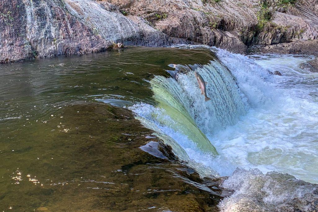 Saumon de la Rivière Rimouski